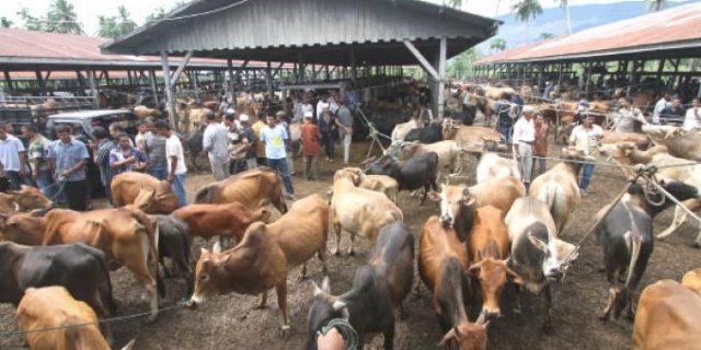 Aceh Barat Siapkan 500 Ternak 'Meugang'