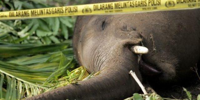 Gajah Sumatra Ditemukan Mati di Aceh Jaya